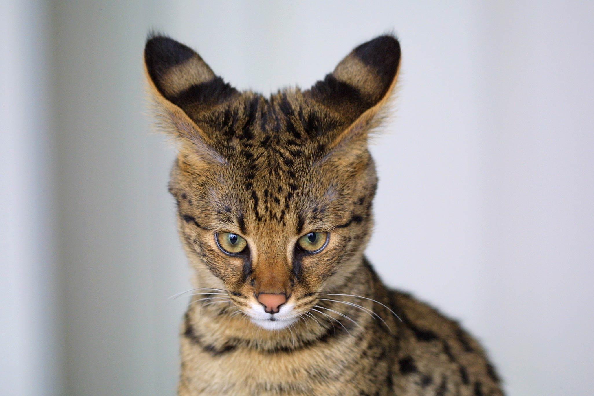 Savannah_Cat_closeup